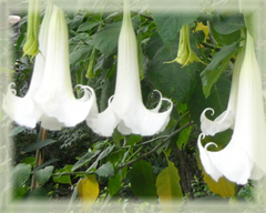 Angel's Trumpet Flower Remedy