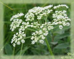 Angelica Flower Remedy