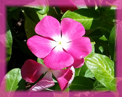 Annual Vinca Flower Remedy