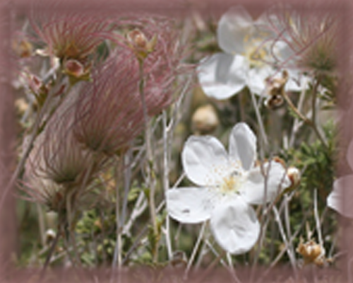 Apache Plume Flower Essence