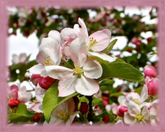 Apple Blossom Flower Remedy
