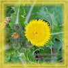 Asiatic Hawksbeard Flower Essence