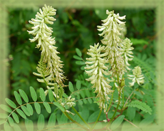 Astragalus Flower Remedy