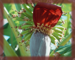 Banana Flower Remedy