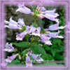 Beardtongue Flower Essence