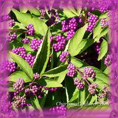 American Beautyberry Bush Flower Remedy