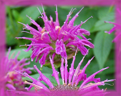 Bee Balm Flower Remedy