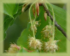 Beech Flower Remedy