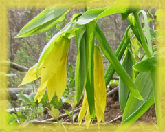 Bellwort Flower Remedy
