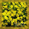 Bidens Flower Essence/Remedy