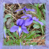 Nature's Remedies - Bird's Foot Violet Remedy/Essence