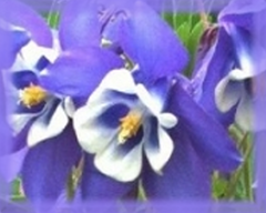 Blue Columbine Flower Remedy
