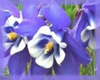 Blue Columbine Flower Essence