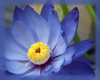 Blue Lotus Flower Essence