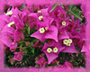 Bougainvillea Flower Essence