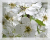 Bradford Pear Flower Essence