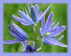 Camas Flower Essence - Nature's Remedies