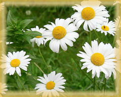 Chamomile Flower Essence - Nature's Remedies