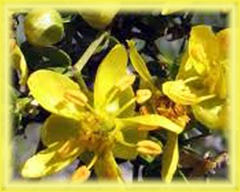 Chaparral Flower Essence - Nature's Remedies