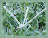 Crabgrass Flower Essence