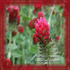 Crimson Clover Flower Remedy