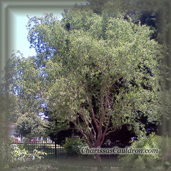 Curly Willow Tree Remedy
