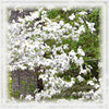 Dogwood Flower Essence