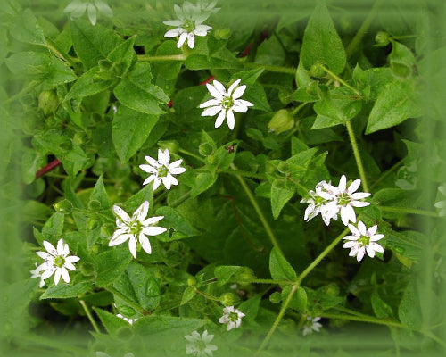 Common Chickweed Flower Remedy (Stellaria Media)