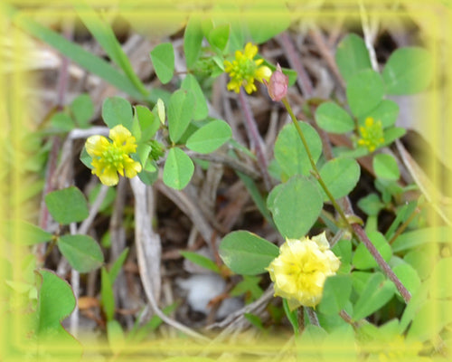 Hop Trefoil Essence - Nature's Remedies
