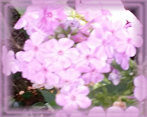 Phlox Flower Essence - Nature's Remedies