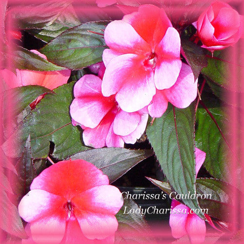 Impatiens New Guinea Flower Essence