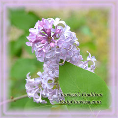 Lilac Flower Remedy