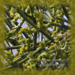 Mistletoe Flower Remedy