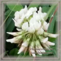 White Clover Flower Remedy