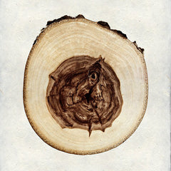 Elm Wood Slice