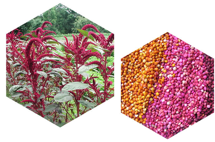 Amaranth Plants (left) & Quinoa Seeds (right)