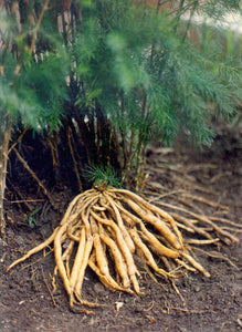 Shatavari (Asparagus racemosus) Fresh & Dried Root Tincture
