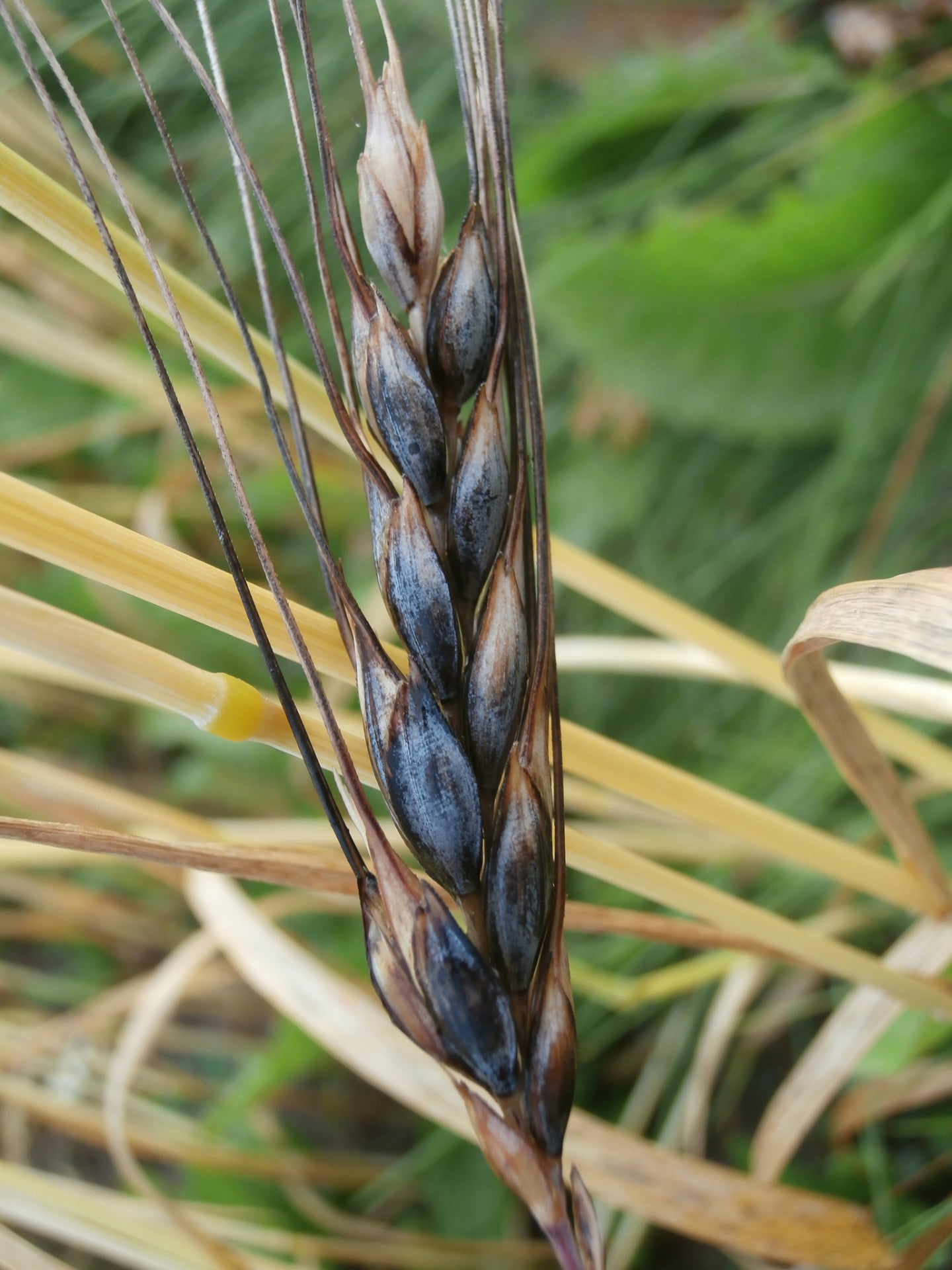 Blue Tinge Ethiopian Wheat