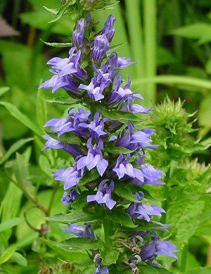 Great Blue Lobelia Heirloom Flower And Medicinal Herb Seed