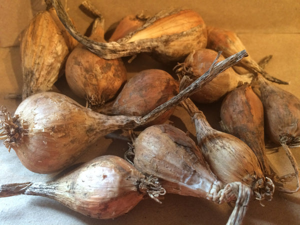 French Grey Shallot