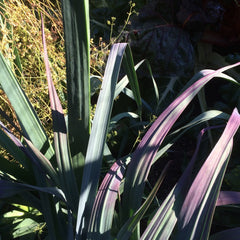 Leek- Darcy's Purple