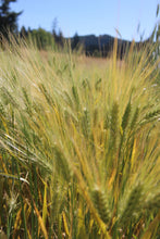 Load image into Gallery viewer, Himalayan Barley (Hordeum vulgare trifurcatum)