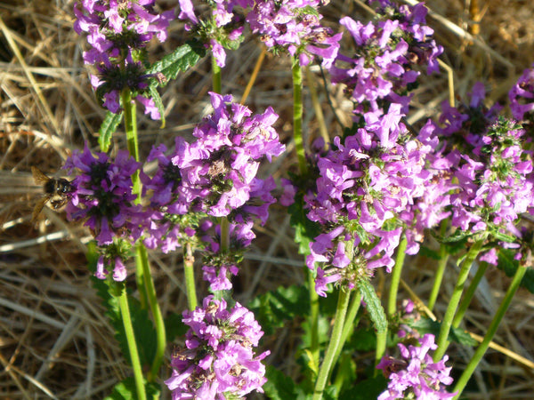 Betony (Stachys officinalis)
