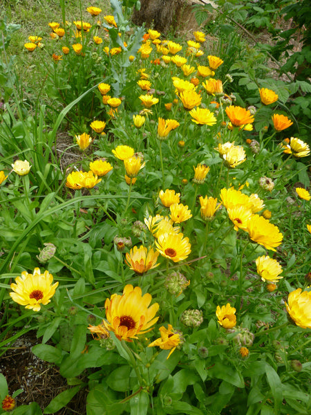 Calendula Mix (Calendula officinalis)