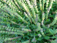 Load image into Gallery viewer, Rama Tulsi (Holy Basil) (Ocimum sanctum)