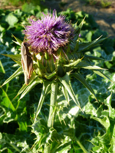 Milk Thistle (Silybum marianum) Ground Fresh Seed Tincture