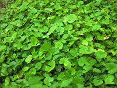 Gotu Kola (Centalla asiatica) Fresh and Dried Leaf Tincture