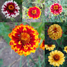 Load image into Gallery viewer, Zinnia Persian Carpet aka Mexicana (Zinnia haageana)