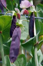 Purple-podded Pole Pea