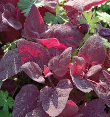 Red Orach (Atriplex hortensis)